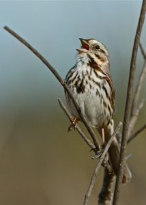 Song Sparrow by Dale Scott