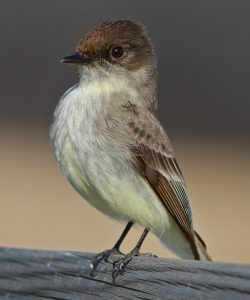 Eastern Phoebe by Dale Scott
