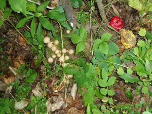 Rose apple and other fungi