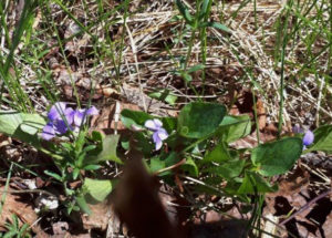 early blue violets