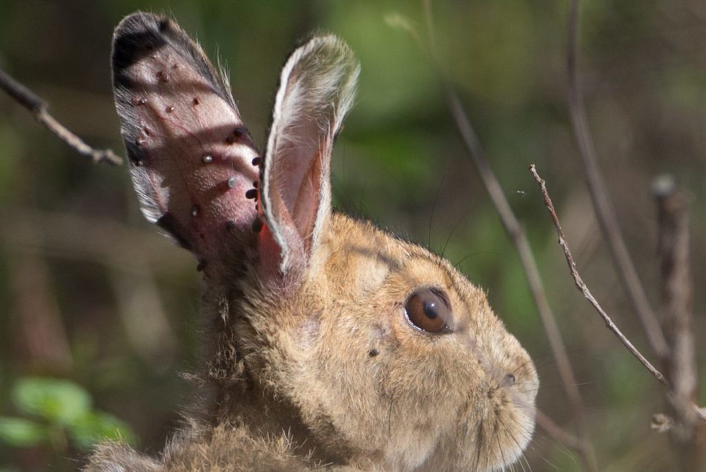 Rabbit with ticks