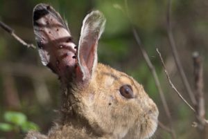 Rabbit with ticks